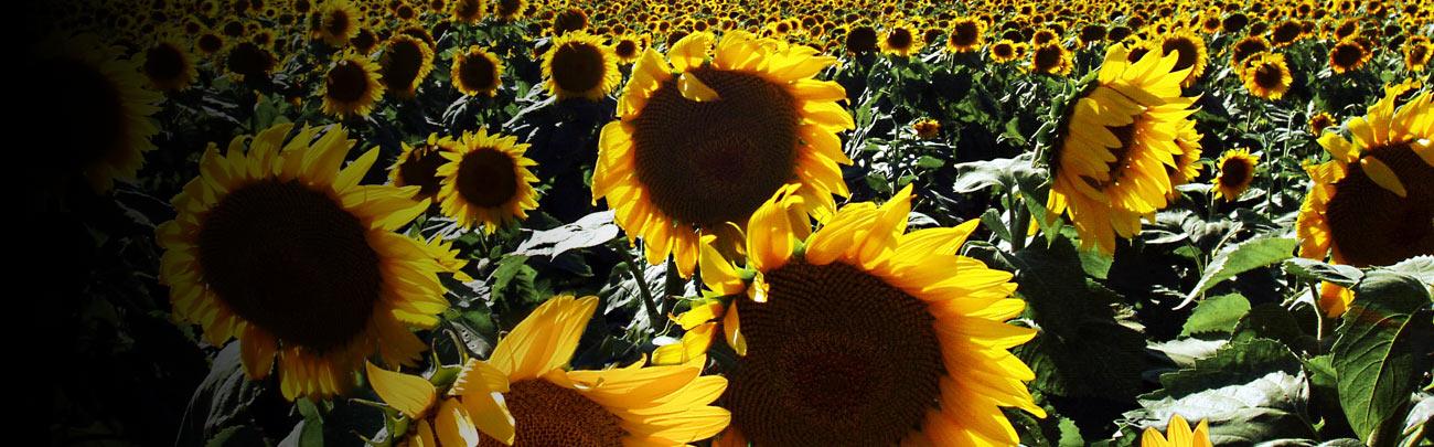 15_sunflowers2